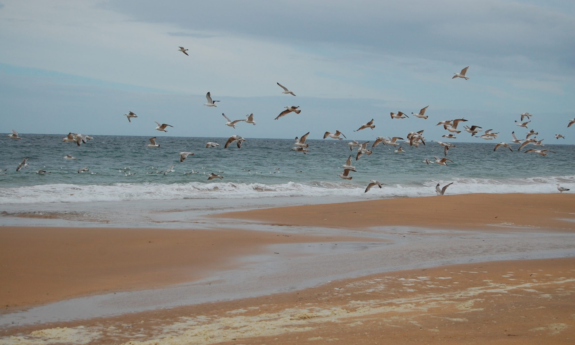 Seagulls at Rattray Head
